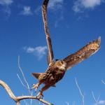 Falconry experience Eagle owl take off