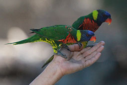 The Top Gun Lorikeets