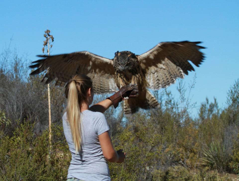 Eurasian Eagle Owl interactive experience