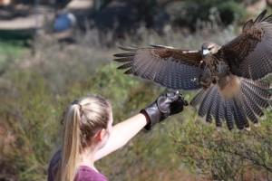 peruvian harris hawk and nyree curran