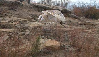 Beatrix the Barn Owl in Flight