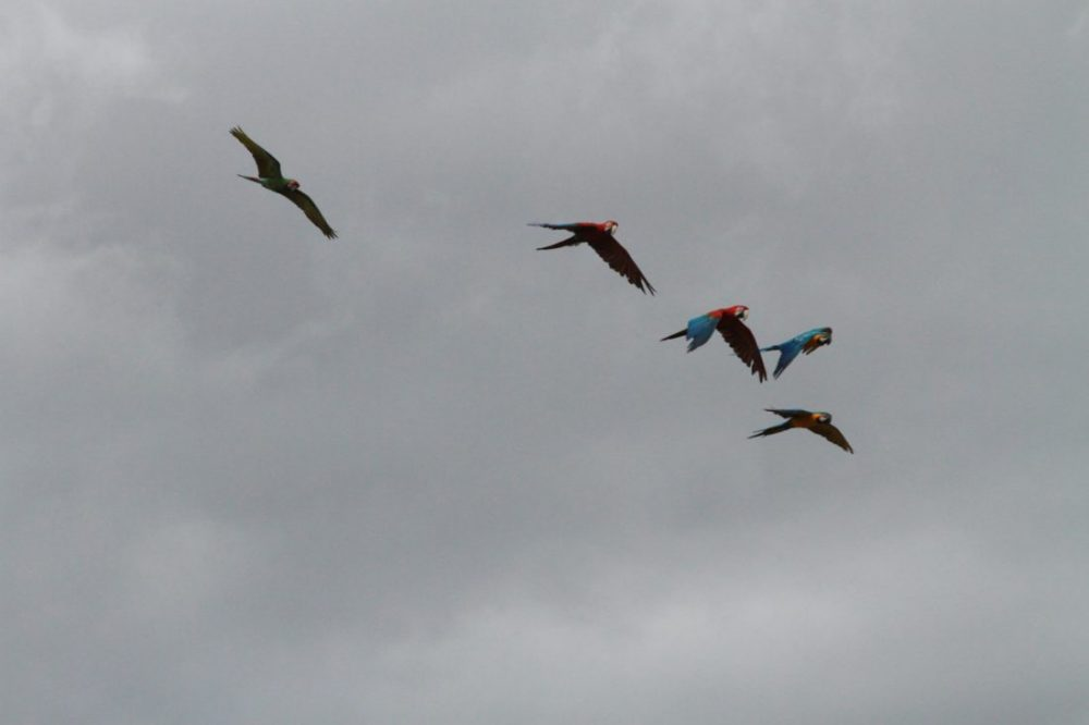 ABI macaw free flight flock