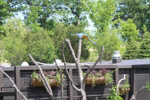 ABI trained blue and gold macaw at Omaha's Henry Doorly Zoo
