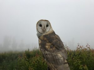 Barn Owl in an apricot orchard