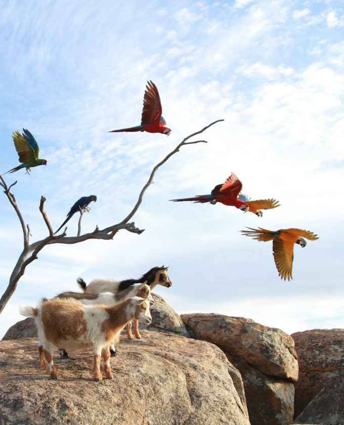 Free Flying Macaws