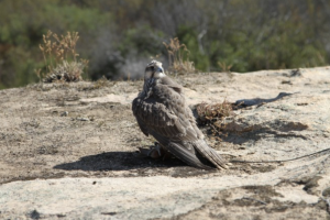 Avian Behavior international saker falcon on a lure