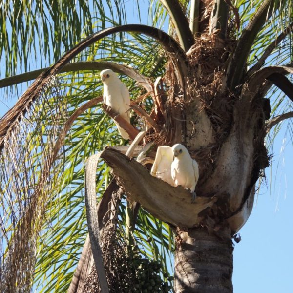 nesting corellas