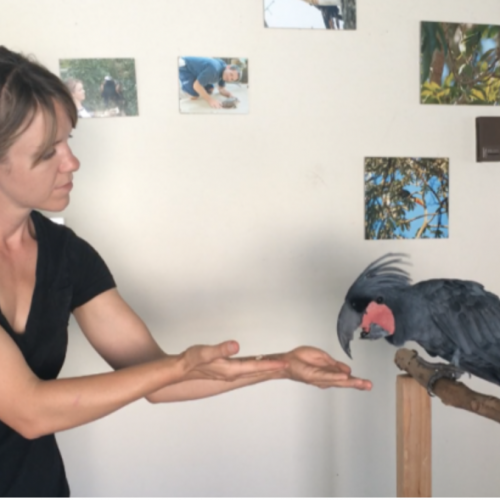 So you want to train your pet parrot for free flight