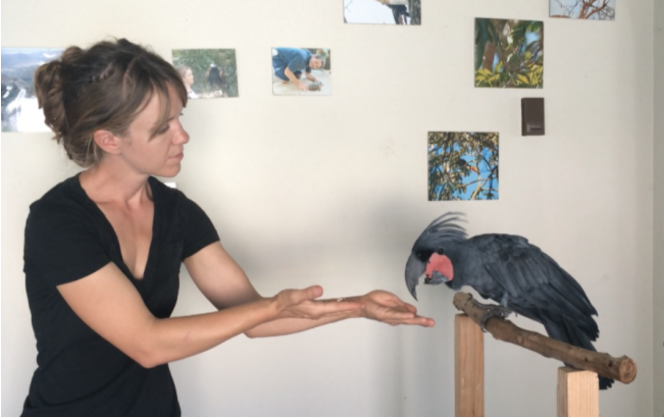 training palm cockatoo to step up