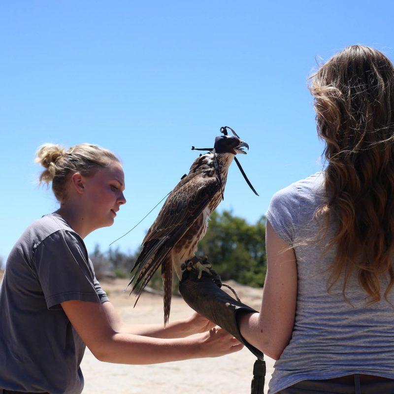 Saker Falcon falconry class