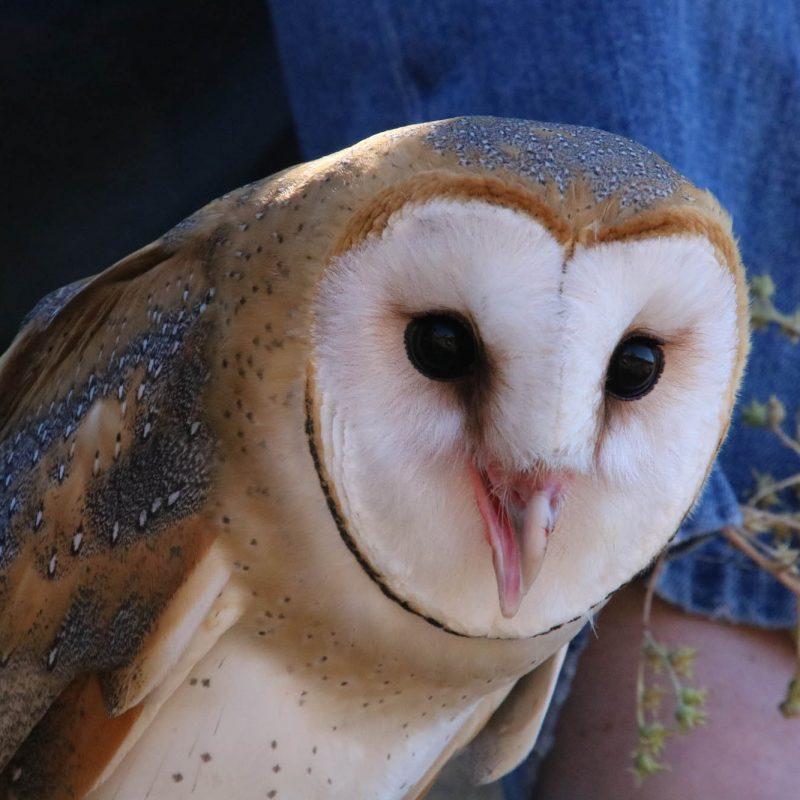 Barn Owl owl Prowl