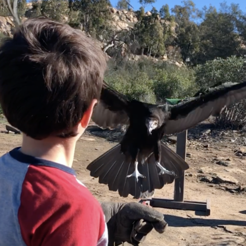 Ultimate Bird of Prey Experience