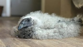 yellow headed vulture chick