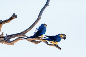 Flavio scorsato macaw