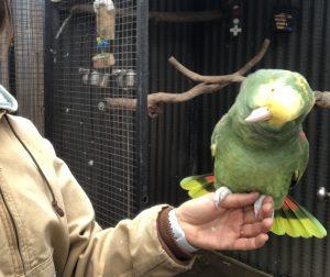 Excited amazon parrot