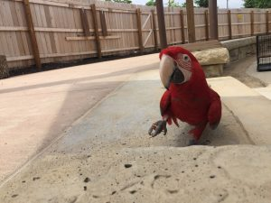 greenwing macaw with food treat