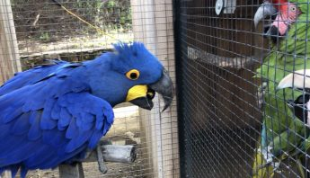 Excited hyacinth macaw