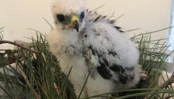 baby coopers hawk