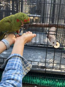 crate training a red fronted macaw