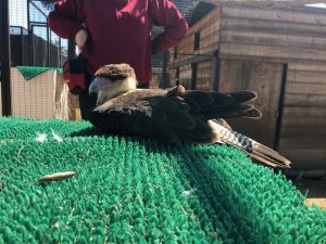 crested caracara in training