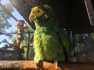 excited male amazon parrot