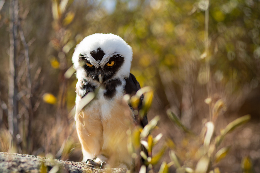 Ripley Spectacled Owl