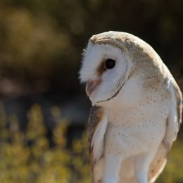 Beatrix North American barn owl