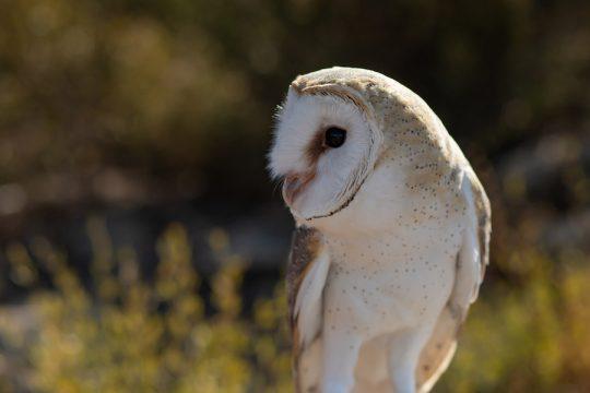 Beatrix North American barn owl