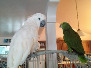 cockatoo and amazon parrot getting along