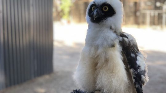 alarmed juvenile spectacled owl