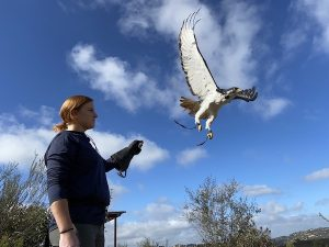 free flight augur buzzard