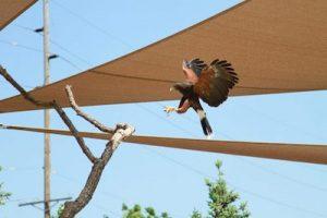 jess free Harris hawk Henry poorly zoo of Omaha