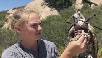 hooding a saker falcon