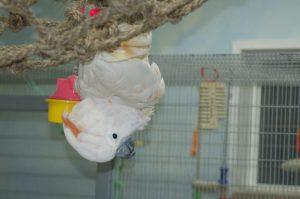 cockatoo bird room