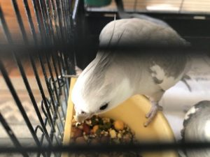 cockatiel trying sprouts