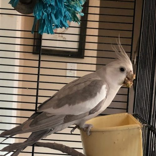 Changing Your Parrot to a New Diet for Better Health and Behavior