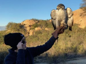 training an augur buzzard