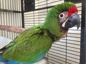 fluffy head baby macaw