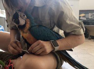 nail filing baby macaw