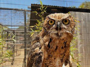 grumpy great horned owl