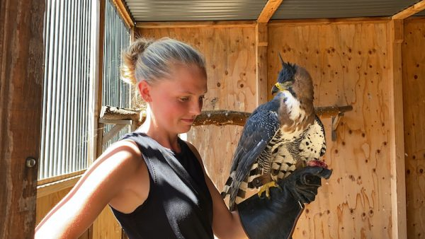 ornate hawk eagle training
